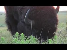Video of a bison herd with baby calves.