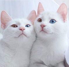 Awwhhhhh my kitty Bubble Gum had one blue eye and one green eye too... I miss that brat!