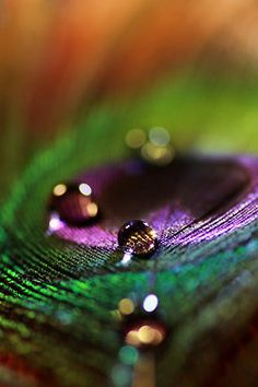 drops on peacock feather