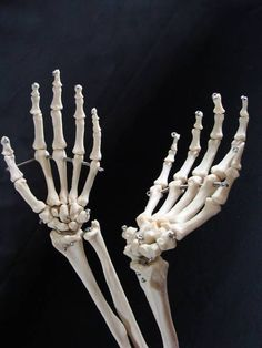 Human Body Skeleton Arms Hands Wrist Bones Medical Anatomical Anatomy Model Pair in Health & Beauty, Medical, Mobility & Disability, Other Skeleton Photo, Female Skeleton, Skeleton Body, Human Skeleton, Skeleton Hands, Hand Anatomy, Anatomy Bones, Skull Anatomy, Skeleton Anatomy
