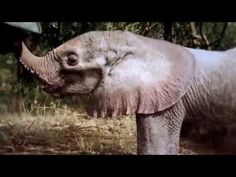 NGILAI - Elephant Orphan History - David Sheldrick Wildlife Trust