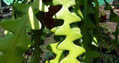 ¡Más cáctus epífitos y trepadores! | Jardín botánico Fuerteventura