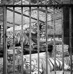Le tigri dello zoo di Brescia - 1979 http://www.bresciavintage.it/brescia-antica/documenti-storici/le-tigri-dello-zoo-di-brescia-1979/