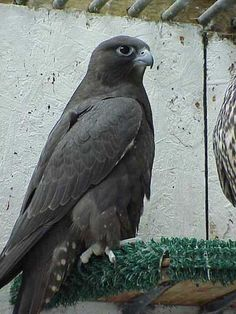 black gyrfalcon - Google Search
