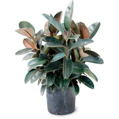 Ficus elastica Rubber Plant Mahoney's Garden Centers ❤ liked on Polyvore featuring home, home decor, floral decor, plants, fillers, flowers, blooming trees, ficus tree, tree home decor and rubber tree