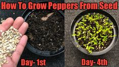 How to Grow Peppers from seeds , Grow Bell Peppers At Home Fast and Easy , Grow indoors Today I will show you how to grow bell peppers / Chillies from seed i.