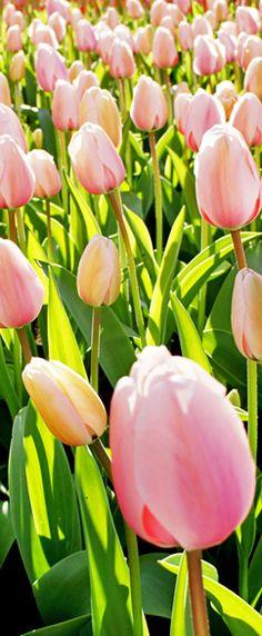 Beautiful Keukenhof flower gardens in the Netherlands.