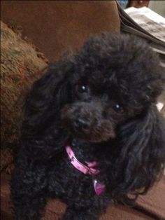 "Chloe. Aka ""bug"". Love her to pieces  <3. Black toy poodle"