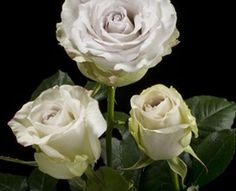 Early Grey - Standard Rose