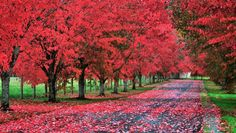a tree lined driveway. Alternate red maples with cherry trees for a two season show. Looks like a dream! Tree Lined Driveway, Driveway Entrance, Driveway Landscaping, Driveway Ideas, Maple Tree, Colorful Trees, The Great Outdoors, Curb Appeal, Outdoor Gardens