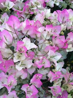 Bougainvillea... variegated pink & white.