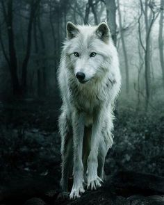 Nothing is more elusive or intoxicating than the white wolf. Credit to - [link] for the original wolf image. Digital hand paintover applied and m. The White Wolf Wolf Love, Bad Wolf, Wolf Spirit, My Spirit Animal, Beautiful Creatures, Animals Beautiful, Tier Wolf, Animals And Pets, Cute Animals