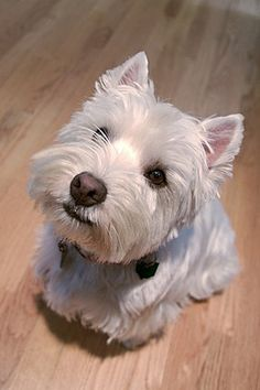 Westie! I loved growing up with Westies ... best dogs.