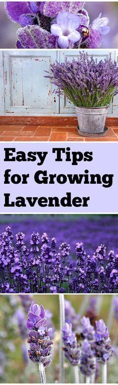 Tips and tricks for growing lavender.
