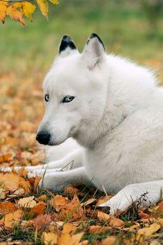 White husky with shifty eyes