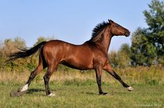 Ukrainian Riding Horse Барон (Baron)