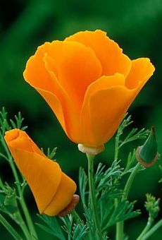 Find Eschscholzia Orange King online from Johnsons Seeds Flower Seeds, A tangerine california poppy with delicate, silvery foliage and a perfect garden plant fo Amazing Flowers, Wild Flowers, Beautiful Flowers, 800 Flowers, Orange Flowers, Colorful Flowers, Orange Poppy, Poppy Flowers, Unique Flowers