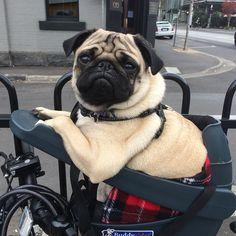Olly looking cool in his buddyrider @buddyriderdownunder #ollypix #pug #pugsofinstagram #buddyrider