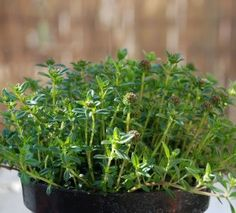 How to Grow Savory: There are two types of savory: summer savory and winter savory. Summer savory is an annual. Winter savory is a perennial. Both can be planted in spring about the time of the average last frost date or started indoors as early as 6 to 8 weeks before the last frost. Both will be ready for harvest about 70 days after planting.