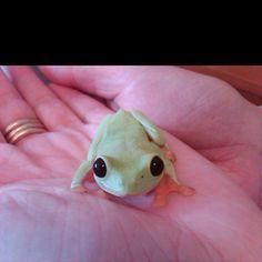 Black eyed tree frog