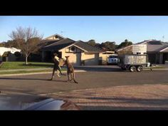 Watch two kangaroos beat the crap out of each other on a suburban street   Rare