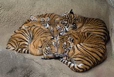 Tiger Love | by photofest2009 - Kathy Newton