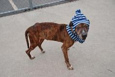 BOY is an adoptable Pit Bull Terrier Dog in Brooklyn, NY.  ...