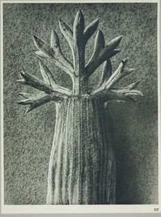 1932 Original Photogravure Print from Karl Blossfeldt Wundergarten Der Natur Second Series Plate 107 Authentic Book Plate : 1932 Original Photogravure Print from Karl Blossfeldt Wundergarten Der Natur Second Series Plate 1 1932 Original Photogravure Karl Blossfeldt, Late Middle Ages, Gray Background, White Photography, Photo Art, Fine Art, Black And White, Prints, Painting