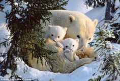 Three's company: Snuggled together for warmth, the young polar bear family find a safe place to rest on the first day away from their den. The cubs are 8 weeks old. Polar Cub, Baby Polar Bears, Cute Baby Animals, Animals And Pets, Arctic Animals, Wild Animals, Tier Fotos, Bear Cubs, Grizzly Bears