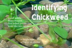 Stellaria media - Chickweed