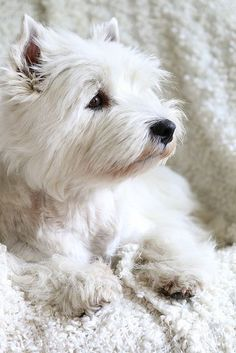 West Highland White Terrier. Inspiration for Halley in Model Under Cover.