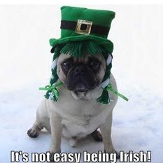 Its not easy being an irish pug - st patricks day meme humor St Patrick's Day Costumes, Diy Dog Costumes, Day Plan, Diy Funny, St Patricks Day, Captain Hat, Guys, How To Wear, Holidays