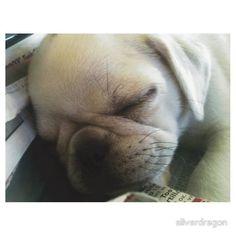 """""""White Pug Puppy"""" Stickers"""