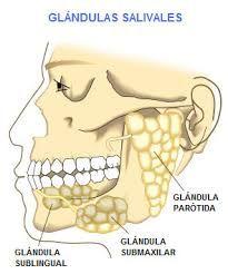 Resultado de imagen para glandulas salivales