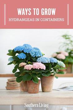 Smooth Hydrangea, Hydrangea Care, Hydrangea Macrophylla, Outdoor Flowers, Barndominium, Black Swan, Flowers Nature, Growing Plants, Yard Ideas