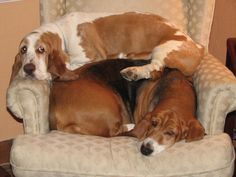 Tait's Bassets - Holiday Picture Contest