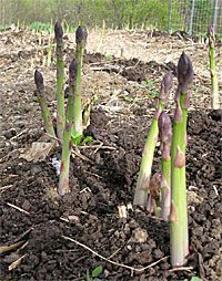 How to Grow Asparagus (with twice as much success as traditional techniques)