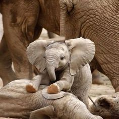 The children of the Sun ... and the daughters of the Earth — adorableanimalss:  Baby elephants