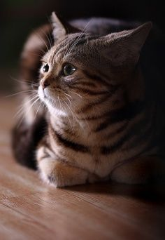 See more on Grooming of American Shorthair Cats
