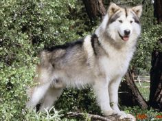 Порода резвой собаки лайка фото
