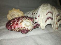 Garlic, Shells, Vegetables, Food, Seashells, Meal, Conchas De Mar, Essen, Vegetable Recipes