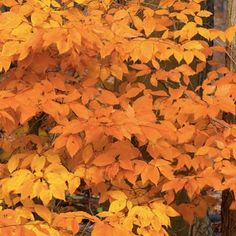 """American Beech Trees - 4"""" Pot and Bare Root"""