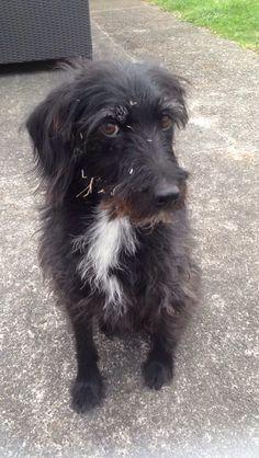 Barney Poodle/Fox Terrier | Pawshake