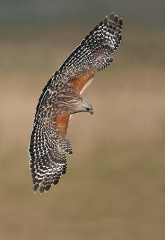 Red Shouldered Hawk banking // Buse à épaulettes - Hawk Species, American Flag Drawing, African Grey Parrot, Bird Pictures, Birds Of Prey, Wild Birds, Bird Watching, Wildlife Photography, Beautiful Birds
