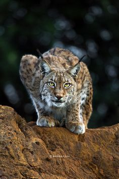 Lynx on the prowl - Wild | Marina Cano