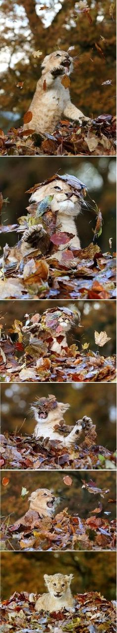 11 week old lion cub playing in leaves... by minerva