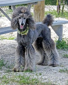 Grooming Rain - Poodle Forum - Standard Poodle, Toy Poodle, Miniature Poodle Forum ALL