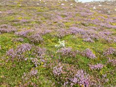 Was the white heather put there by a passing Scotsman?