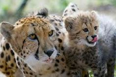 Ann Van Dyk Cheetah Centre Tour from Johannesburg or Pretoria  Enjoy this 5-hour tour of the Ann Van Dyk Cheetah Centre. View cheetahs and other wildlife up-close and personal as your knowledgeable guide tells you all about them. Round-trip transport to and from your Johannesburg or Pretoria hotels is included.Start the tour with a pickup from your Johannesburg or Pretoria hotel at approximately 6:15am. Travel to the Ann Van Dyk Cheetah Centre situated near the Hartebeestpoort...