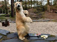 L'ours polaire du zoo de La Flèche a reçu un cadeau pour Pâques et il est très content.